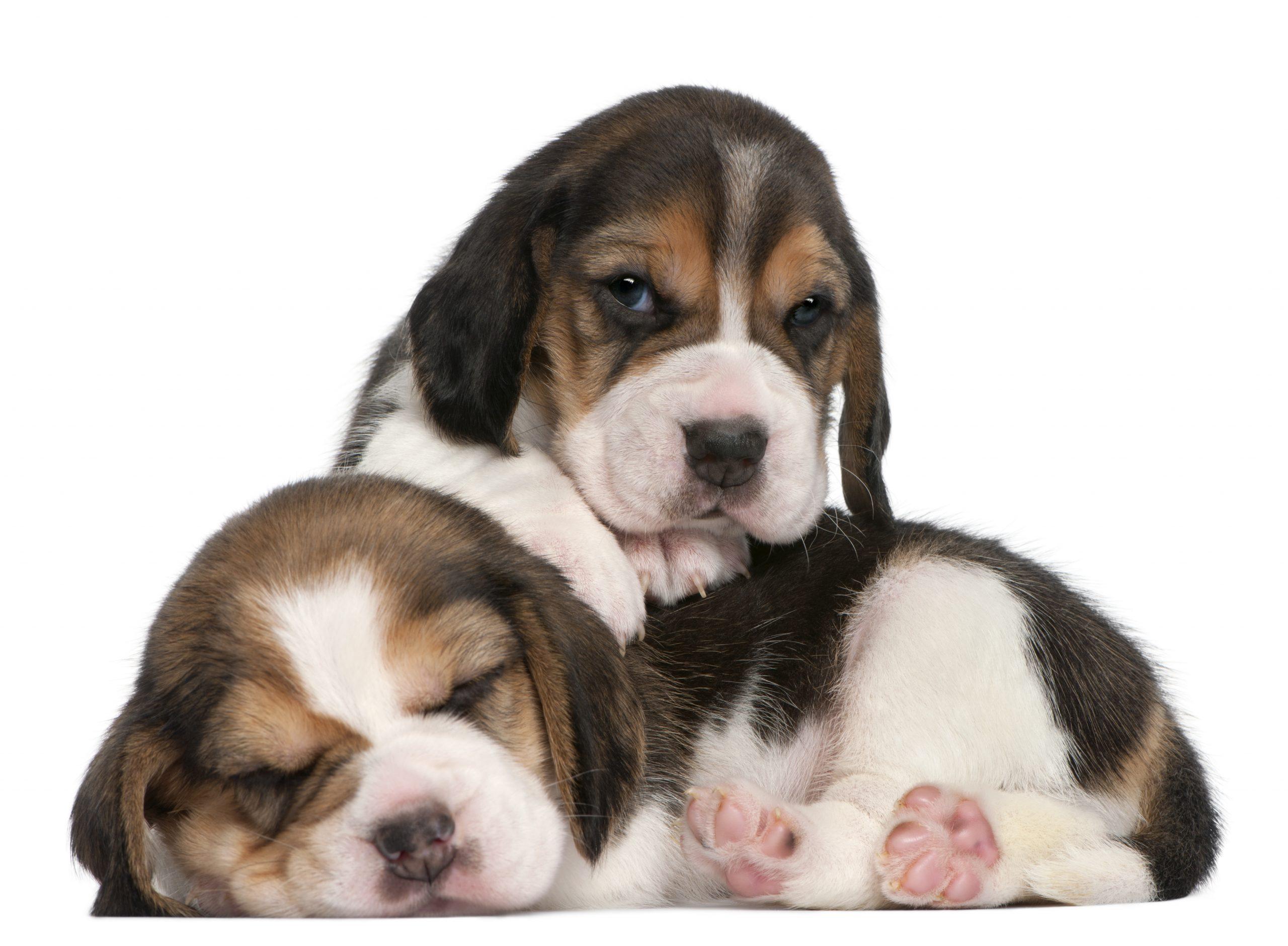 Sustituto de leche para cachorros